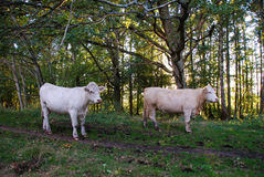 Charolais cattle in a green forest Royalty Free Stock Photo