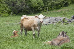 Charolais cattle in a meadow Royalty Free Stock Photos
