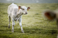 Charolais cattle on the Pasture in Brittany France Stock Photography