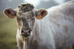 Charolais cattle on the Pasture in Brittany France Royalty Free Stock Photo