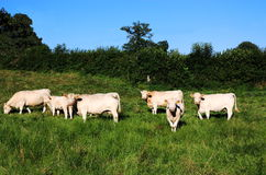 Charolais Cattle Soft Evening Light Stock Photos