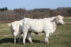 Charolais Cattle Thick Winter Coats stock image