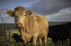 Charolais Cattle. UK Royalty Free Stock Photography