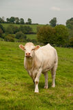 Charolais cattle Royalty Free Stock Photos
