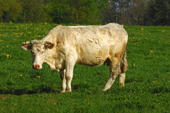Charolais cow Royalty Free Stock Images