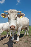 Charolais cow Stock Photo