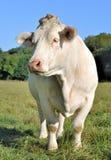 Charolais Cow Stock Photos