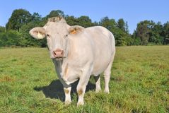 Charolais cow Stock Photography