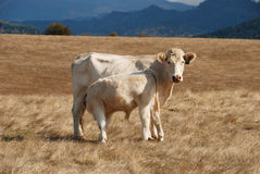 Charolais Cow Calf Royalty Free Stock Image