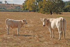 Charolais Cow Calf Royalty Free Stock Images
