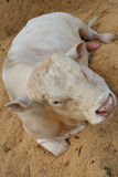 Charolais cow Royalty Free Stock Photography