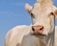 Charolais cow Royalty Free Stock Photos