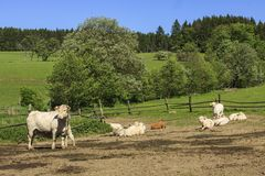 Charolais cow drove on the pasture royalty free stock photo