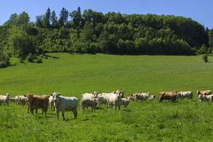 Charolais cow drove on the pasture. Charolais cows drove on the green pasture in summertime with calves stock images