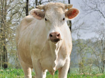 Charolais cow face Royalty Free Stock Photo