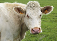 Charolais cow grazing on pasture in Burgundy, France Royalty Free Stock Images