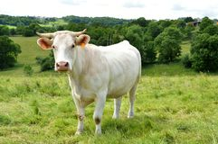A Charolais cow in a green pasture