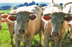 Charolais cow Royalty Free Stock Photo