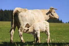 Charolais cow with its calf on the pasture royalty free stock photos