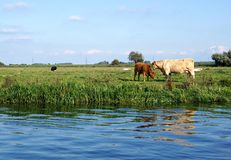 Charolais Cow Mother And Red Calf Royalty Free Stock Images