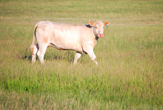 Charolais Cow in a Pasture. A white cow grazing in a pasture (charolais royalty free stock images