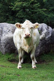 Charolais Cow portrait view