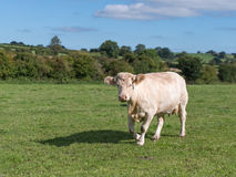 Charolais cow. Standing in a field stock images