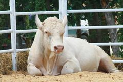 Charolais cow Stock Image