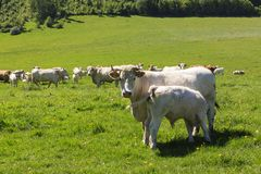 Charolais cow drove on the pasture stock image