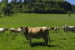Charolais cow drove on the pasture royalty free stock image