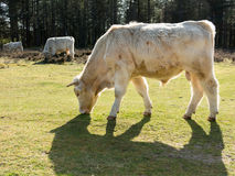 Charolais cows in fields, Holland Stock Images