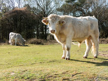 Charolais cows in fields Stock Images
