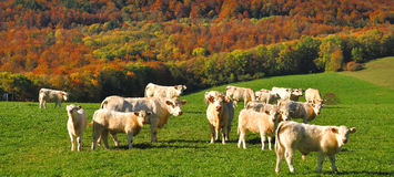 Charolais Cows,France Stock Photography