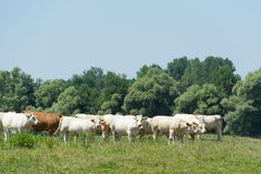 Charolais cows in France Royalty Free Stock Photo