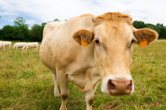 The Charolais cows in France Royalty Free Stock Images
