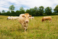 The Charolais cows in France Royalty Free Stock Photography