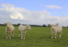Charolais cows grazing on pasture in Burgundy, France Royalty Free Stock Photos