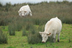 Charolais Cows By The Lake / Charolles Cows By The Lake Royalty Free Stock Photos