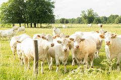 Charolais cows on a meadow stock photo