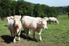 Charolais Cows In Mountain Pasture Stock Images