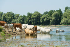 Charolais cows in river Royalty Free Stock Photos