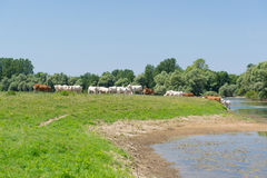 Charolais cows in river Stock Images