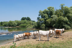 Charolais cows in river Royalty Free Stock Image