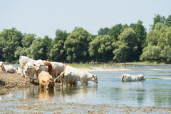 Charolais cows in river Stock Image