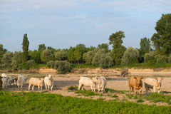 Charolais cows in river landscape Royalty Free Stock Photo