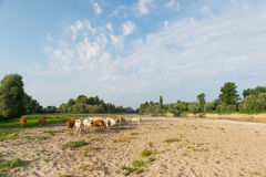 Charolais cows in river landscape Stock Photography