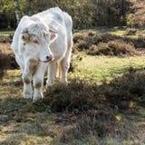 Charolais krowa w heathland, Holandia Zdjęcia Stock