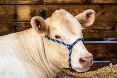 Charolais show heifer. Charolais heifer neck and head with a blue halter stock images