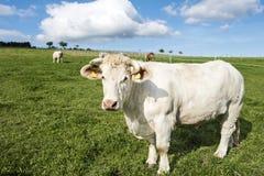 Charolais Steer Stock Photos