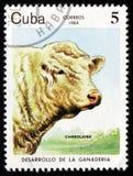 Charolais (tauro del primigenius del Bos) se acobardan, circa 1984 Foto de archivo